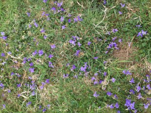 violets all the way