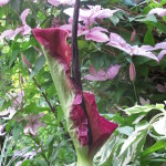 The Dragon arum - Drcunculus vulgaris, yuck it stinks