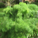 Giant fennel, like a feather to touch